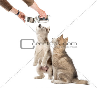 Alaskan Malamute puppies with a bowl isolated on white