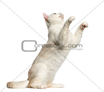 British Shorthair sitting and playing isolated on white