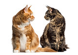 Two cats looking each other, ialosted on white