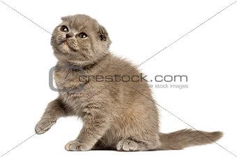 Foldex kitten looking up isolated on white