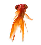 Back view of a Goldfish  islolated on white