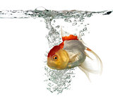 Lion's head goldfish swimming isolated on white