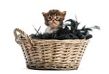 Maine coon kitten coming out of a pet basket