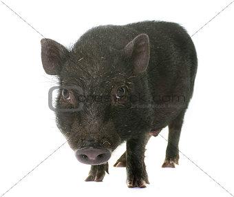 black piglet in studio