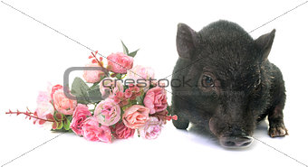 black piglet in studio