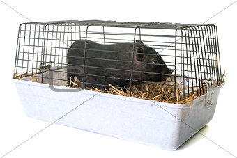 black piglet in cage