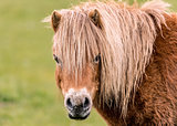 Mini Horse Looking at the Camers