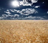 Field of wheat, beautiful sunset, clouds.