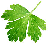 Single parsley herb (coriander) leaf isolated on white