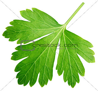 Single parsley herb (coriander) leaf isolated on white