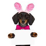 bunny easter ears dog