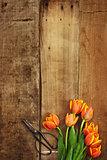 Antique Scissors and Tulips