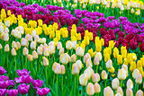 Glade of colorful fresh tulips in the Keukenhof