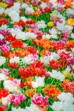 Glade of red, pink, orange and white fresh tulips