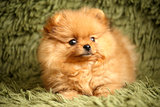 charming little Pomeranian puppy