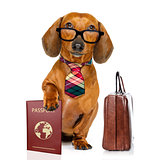 dachshund sausage dog on business trip