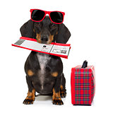 dachshund sausage dog on vacation
