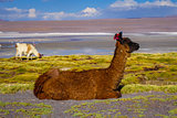 Lamas herd in Laguna colorada, sud Lipez Altiplano reserva, Boli