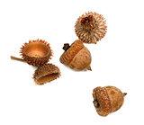 Autumnal acorns from oak