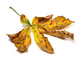 Dry autumn leaf of chestnut
