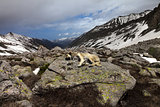 Dog sleeping on big stone in mountains