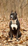 Staffordshire bull terrier sitting in autumn forest
