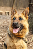 Young german shepherd close up portrait