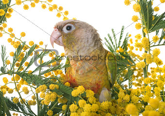 Cinnamon green-cheeked conure