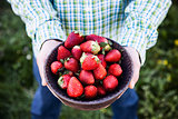 Fresh strawberries in farmer's hands