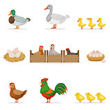 Farm Birds Grown For Meat and For Laying Eggs, Organic Farming Series Of Vector Illustrations With Animals