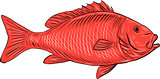Australasian Snapper Swimming Drawing