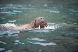 Walrus in the water