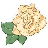 Beige rose on white background