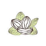 Shea Nut Illustration