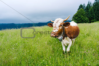 A cow grazing in the mountains on a meadow