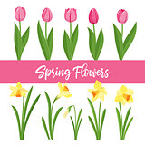 Spring flowers growing in the garden. Tulips and daffodils isolated on white background.