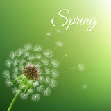 Dandelion And Spring Background
