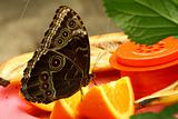 buckeye butterfly