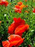 Poppies