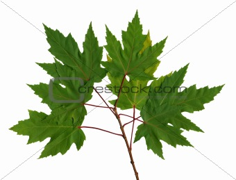 Branch maple