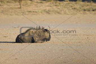 Black Wildebeest resting