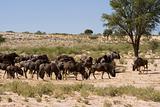 Wildebeest Lunchtime
