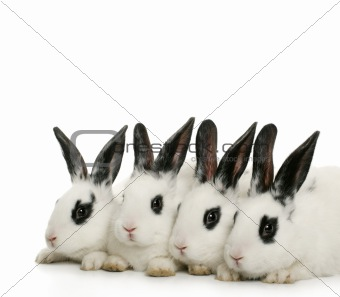 four cute bunnies