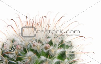 cactus about to bloom,, isolated