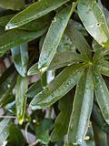 Rain drops on passion flower vine