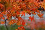 Red leaves of japanese mapple