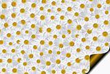 99 Daisies