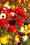 Ranunculus Garden