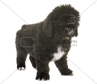 angry puppy newfoundland dog