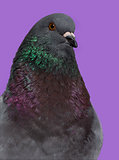 Close-up of a King pigeon against purple background